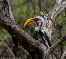 Eastern yellow-billed hornbill at Lekurruki Conservancy, Laikipia