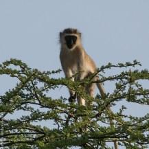 Hilgert's vervet monkey (Chlorocebus pygerythrus hilgerti), Milgis River, Elkanto, Samburu County, Kenya.