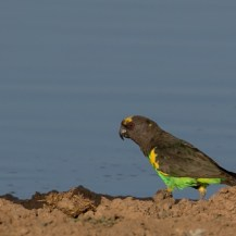 Brown parrot, Lolldaiga Hills Ranch.