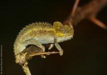 Helmeted Chameleon, near Nakuru, Kenya