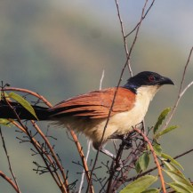 Senegal coucal, Imatong Mountains of Uganda