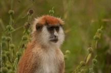 Eastern patas monkey (Erythrocebus patas pyrrhonotus), Kidepo Valley National Park