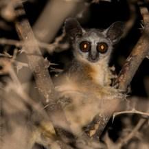 Somali lesser galago (Galago gallarum), Keleswa, Samburu County, Kenya.
