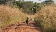 Abyssinian ground hornbill, Kidepo Valley National Park