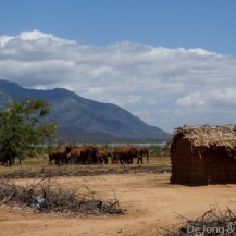 Elephants in a settlement just north of Lake Jipe Gate, Tsavo West National Park