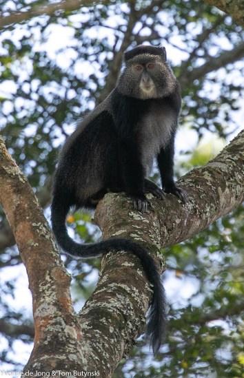 Doggett's silver monkey (Cercopithecus mitis doggetti), Sango Bay, Uganda.