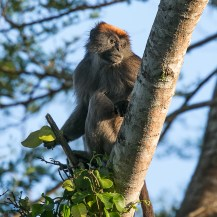 Tana River red colobus (Piliocolobus rufomitratus) at Ndera Conservancy, Lower Tana River, Kenya