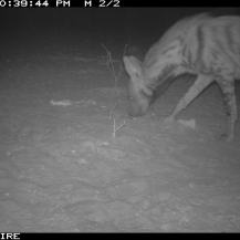 Camera trap image of a striped hyaena (Hyaena hyaena) Lesirikan, Samburu County, Kenya.