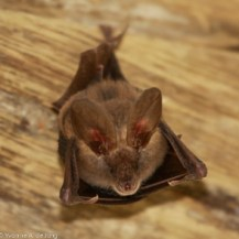 Slit-faced bat (Nycteris sp.), Tumbili Estate
