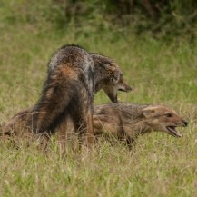 Side-striped jackal, Kidepo Valley National Park
