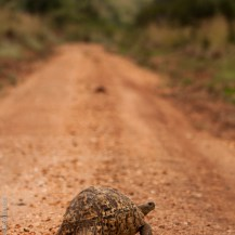 Leopard tortoise, Kidepo Valley National Park