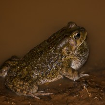 Male Garman's toad (Amietophrynus garmani), Lepile Dam, Lesirikan, Samburu County, Kenya.