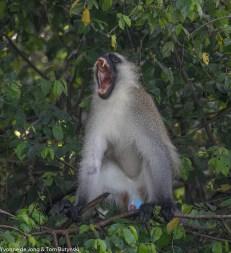 Vervet monkey Chlorocebus pygerithrus, west of Busia, Uganda