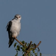 Black-shouldered kite, Tumbili Estate