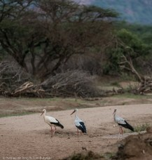 White stork at Kuru Kuri Group Ranch, Laikipia