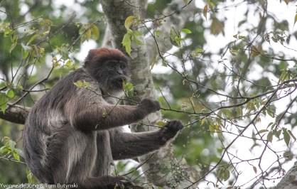 Ashy red colobus (Piliocolobus tephrosceles), Kibale Forest NP, Uganda