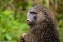 Olive baboon (Papio anubis), Kibale Forest NP, Uganda