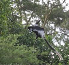 Western guereza (Colobus guereza occidentalis), Katonga GR, Uganda