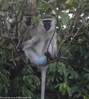 Vervet monkey (Chlorocebus pygerythrus) Katonga Game Reserve