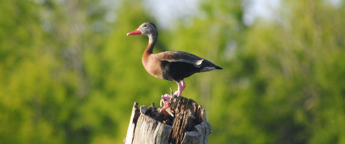 Black Bellied Whistling Duck Sounds