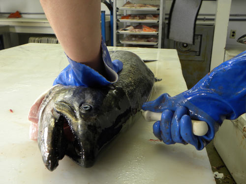 The processor starts filleting a king salmon.