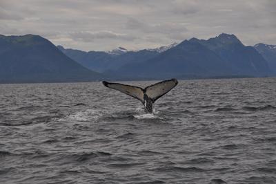 Whaletail near Sitka, Alaska