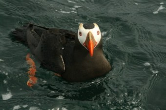 A Puffin Hanging Around the Fishing Boat