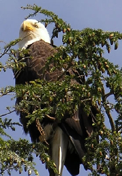 Bald Eagle in a Tree near the lodge