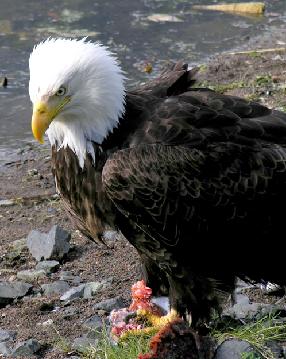Bald Eagle near the lodge
