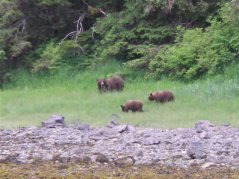 Brown Bear With Cubs in Sitka