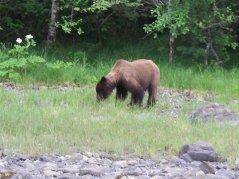 Brown Bear in Sitka, AK