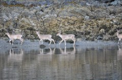 Deer Along the Waters Edge in Sitka, Alaska