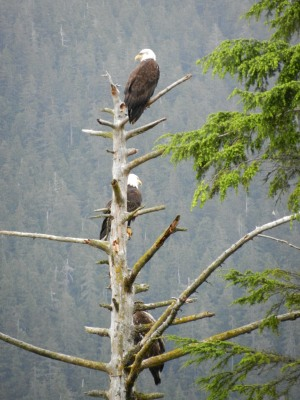 Eagles Lookout from a Tree
