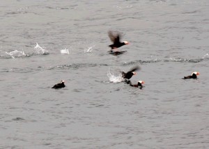 Flying Puffins near a fishing vessel