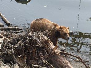 Fortress Of The Bear Sitka Alaska 06