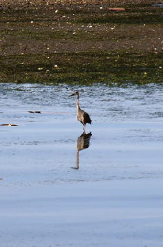 Heron in the Estuary in Sitka