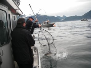 Netting an Alaskan King Salmon