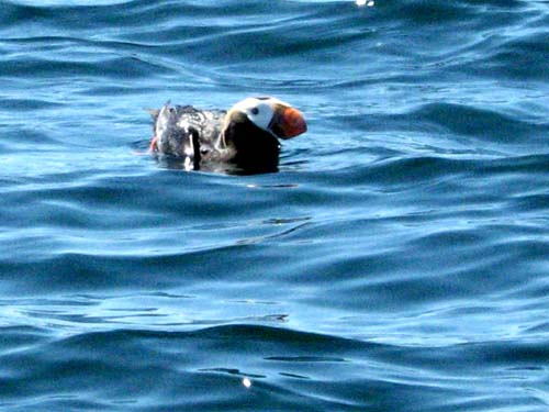Puffin On A Sunny Day on the Ocean