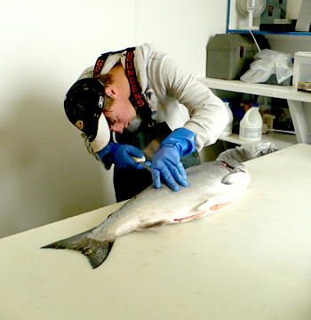Salmon Being Processed At Alaska Premier Charters Inc