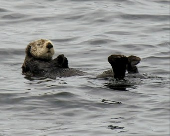 Sea Otter Relaxing on the Ocean