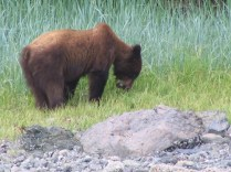 Wild Bear Foraging For Food