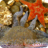 ocean creatures, starfish, sitka hatchery, sitka alaska
