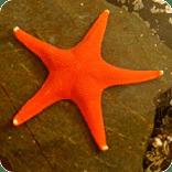 orange starfish, sitka hatchery, science center, sitka alaska