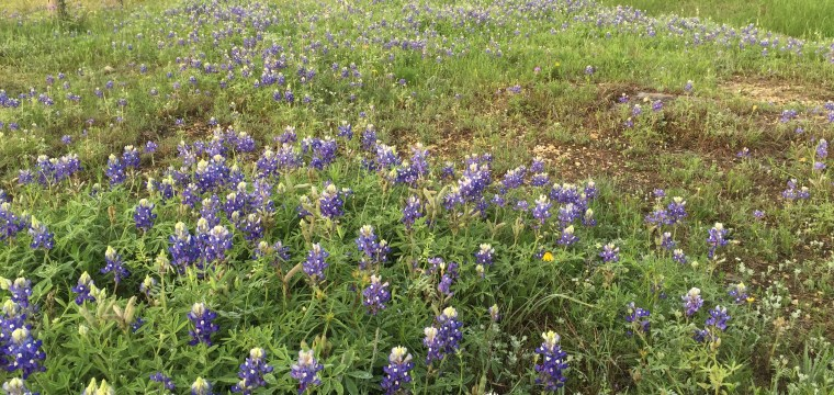 texas-bluebonnets-lupinus-texensis_25549829383_o