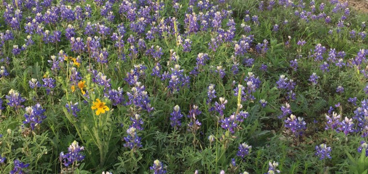 texas-bluebonnets-lupinus-texensis_26086153371_o