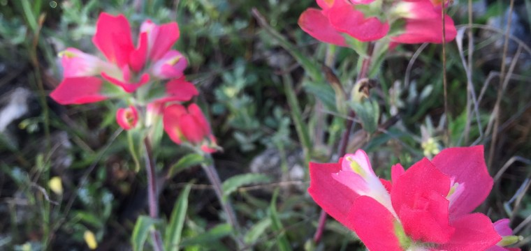 texas-indian-paintbrush-castilleja-indivisa_25549827313_o
