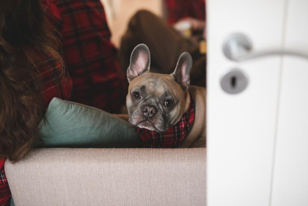 Adorable French Bulldog wearing a bandana