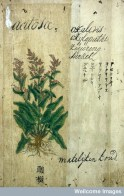 "L0030035 Japanese herbal, 17th century Credit: Wellcome Library, London. Wellcome Images images@wellcome.ac.uk http://wellcomeimages.org Contains various drawings of European plants with names/text in Old Dutch, Chinese, Japanese & Latin. ""Kruid Boek getrokken uyt Dodoneaus"",- ""Herbal extracted from Dodoneaus"" Published: - Copyrighted work available under Creative Commons Attribution only licence CC BY 4.0 http://creativecommons.org/licenses/by/4.0/"
