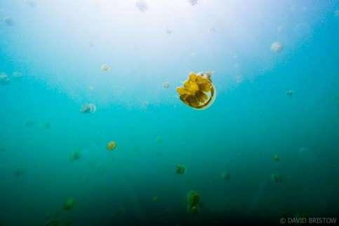 Swim with the Sting-less jellyfish on Kakoban island, Kalimantan