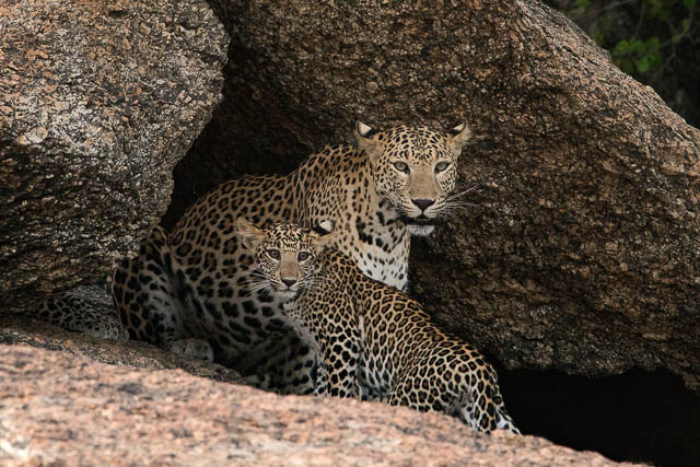 Mother and cub leopard